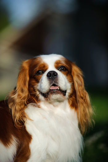 Close Up Of Cavalier King Charles Spaniel Panting Outdoors