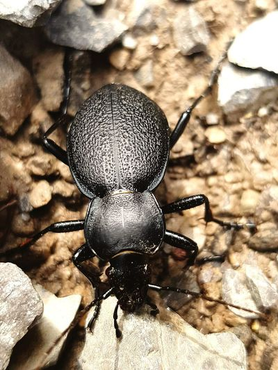 Carabe Insect
