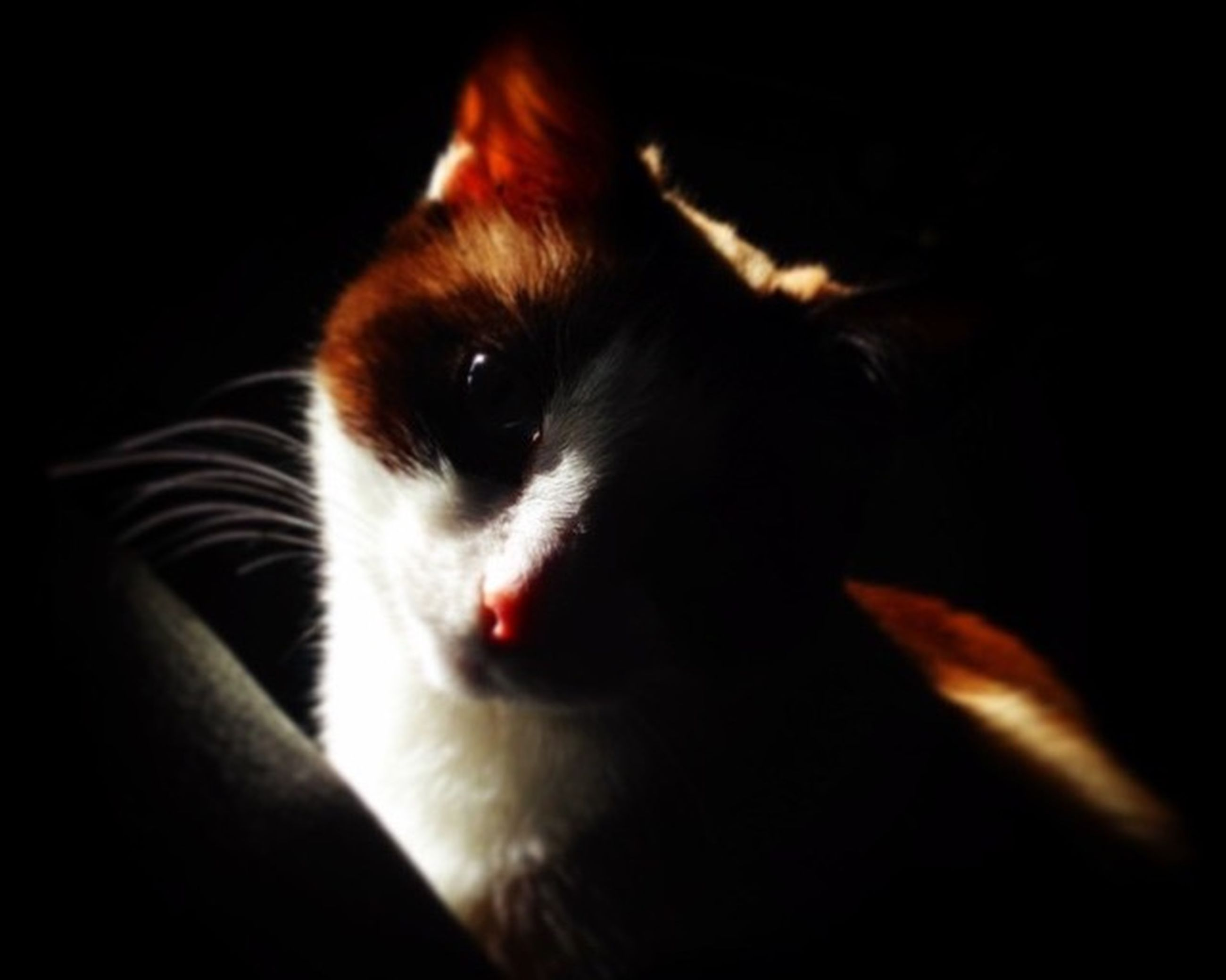 pets, domestic animals, one animal, animal themes, indoors, mammal, dog, close-up, animal head, domestic cat, looking at camera, portrait, black background, animal body part, home interior, whisker, cat, animal eye, feline