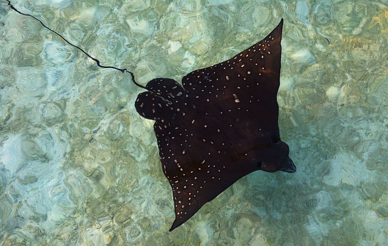 Fish Rochen Sea Sea Life Skate Fish Underwater Water Wet Zoology