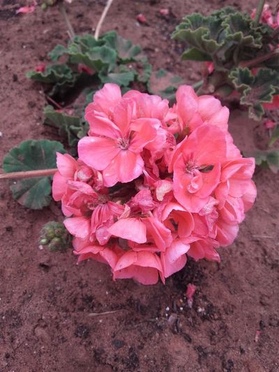 Beauty In Nature Blooming Close-up Day Flower Flower Head Fragility Freshness Growth Leaf Nature No People Outdoors Pink Color Plant أزهار باقة زهرة لون وردي وردة ورود