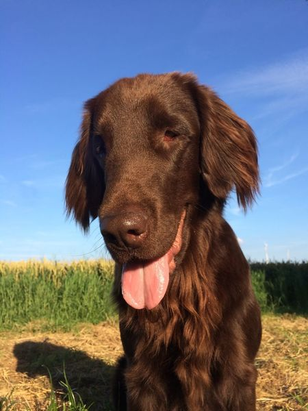 Panting dog Animal Body Part Animal Hair Animal Head  Blue Brown Close-up Day Dog Domestic Animals Field Flat Coated Retriever Focus On Foreground Grass Grassy Landscape Mammal Nature No People Outdoors Panting Pet Collar Pets Portrait Sky Sticking Out Tongue