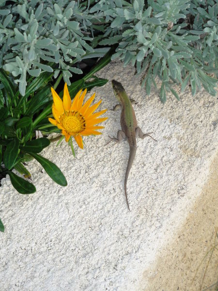Lizzard Wall On A Wall Beauty In Nature Blooming Blossom Botany Close-up Day Echse Elevated View Flower Flower Head Focus On Foreground Fragility Gelb Green Color Growing Growth In Bloom Leaf Nature No Filter No People Outdoors Plant Colour Of Life Yellow