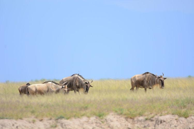 Wildebeests walking on grassy field