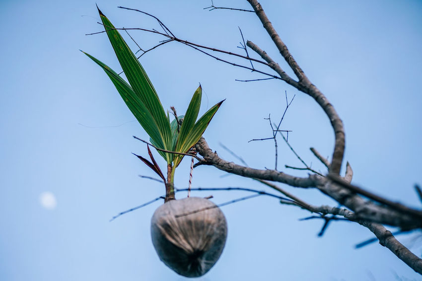 Tropical low angle view of the coconut tree with a growing coconut against the clear blue sky with a full moon. Agriculture Coconut Green High Moon Natural Nature Palm Tree Travel Tree Backgrounds Branch Coco Coconut Palm Tree Dried Dry Food Fruit Leaf Nut Outdoors Photo Summer Tropical Tropical Tree