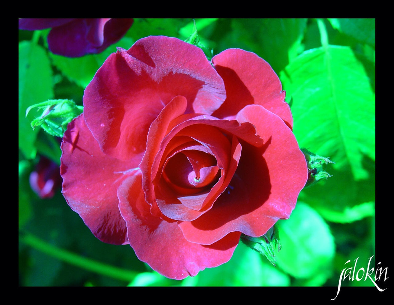 flower, petal, rose - flower, nature, flower head, beauty in nature, growth, fragility, freshness, plant, red, close-up, no people, blooming, outdoors, day