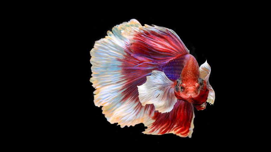 Colourful Betta