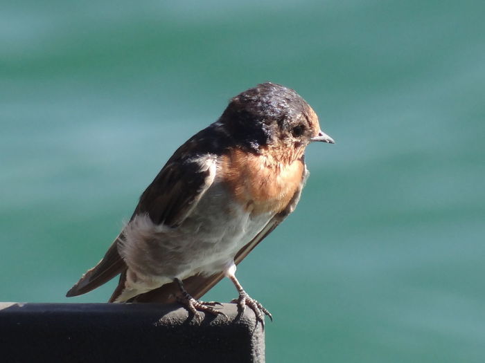 Welcome Swallow Hirundo neoxena Australia Birdwatching Hirundo Neoxena Manly Wharf Animal Wildlife Animals In The Wild Bird Brown Close-up Day Focus On Foreground Full Length Hirundo Little Little Bird Looking Away Nature No People One Animal Ornithology  Outdoors Perching Side View Swallow Sydney Vertebrate Welcome Swallow