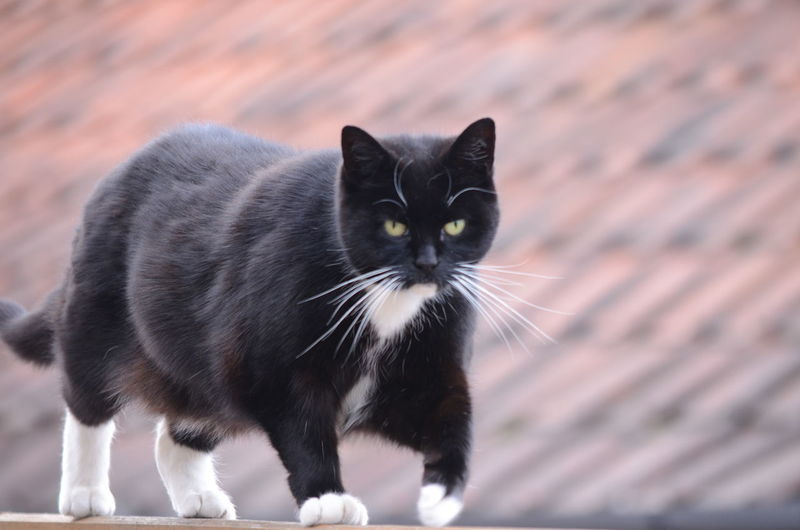 Animal Themes Black Color Cat Domestic Cat Focus On Foreground Looking At Camera No People One Animal Pets Staring Domestic Pets Walking domestic cat walking on a fence towards camera