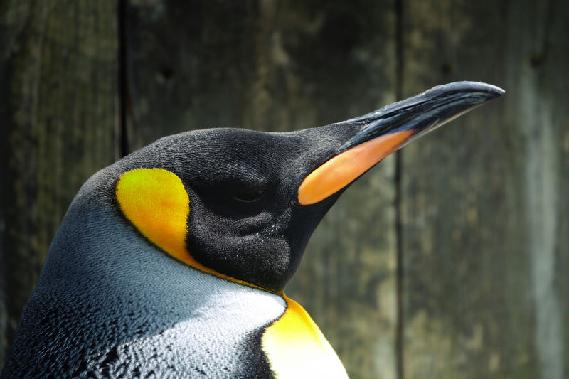 King Penguin Animal Animal Body Part Animal Head  Animal Themes Animal Wildlife Animals In The Wild Beak Beauty In Nature Bird Black Color Close-up Day Focus On Foreground Nature No People One Animal Outdoors Penguin Side View Vertebrate Yellow