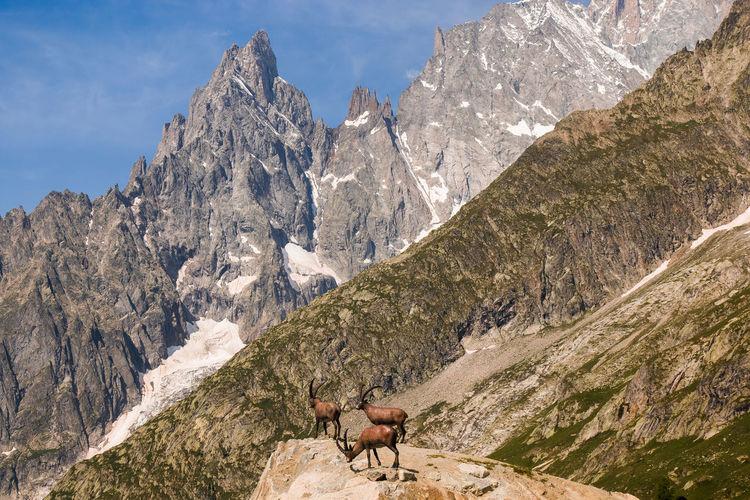 Portrait of three alpine ibex capra ibex on the mont blanc monte bianco background, italy