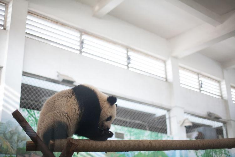Close-up of a panda
