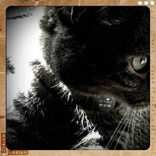Showcase: December Cats Black & White Animal Themes Pets One Animal Cat Cat Eye Domestic Cat Feline Domestic Animals B&w Animal Head  Close-up B&w Photography B&W Portrait Blackandwhite Whisker Angrycat Angry Cat Evilcat Evil Cat Devilcat
