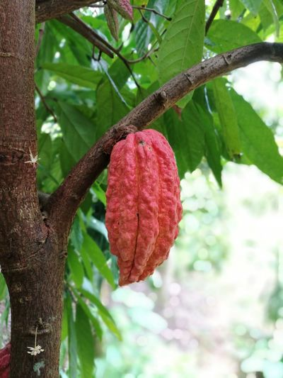 Cacao fruits Tree Growth Red Day No People Leaf Nature Food And Drink Outdoors Branch Close-up Hanging Food Tree Trunk Plant Beauty In Nature Freshness