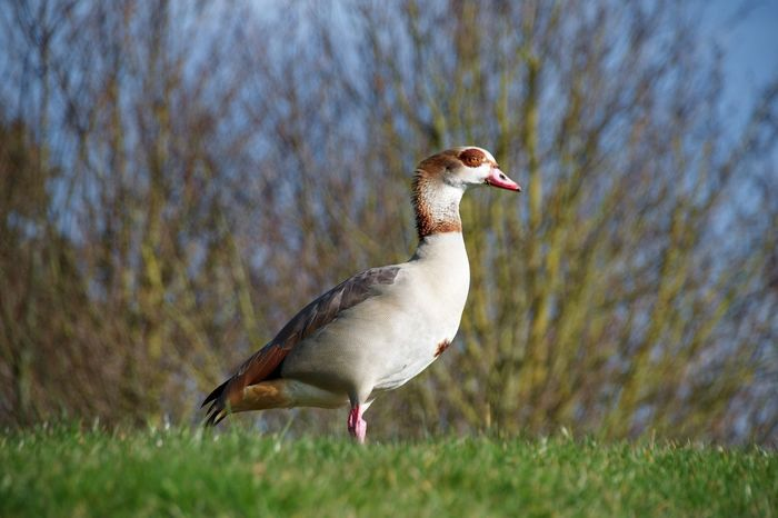Egyptian goose in winter sunlight Geese Goose Egyptian Geese Egyptian Goose One Animal Animal Themes Animals In The Wild Bird Animal Wildlife Grass Nature Day Field Close-up Outdoors No People Focus On Foreground