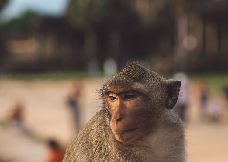Siem Reap Cambodia Angkor Angkor Wat Angkor Wat, Cambodia Mammal Focus On Foreground Animal Wildlife Animals In The Wild Primate Looking One Animal Looking Away Day Vertebrate Close-up People Outdoors Tree Nature Sitting Baboon Contemplation