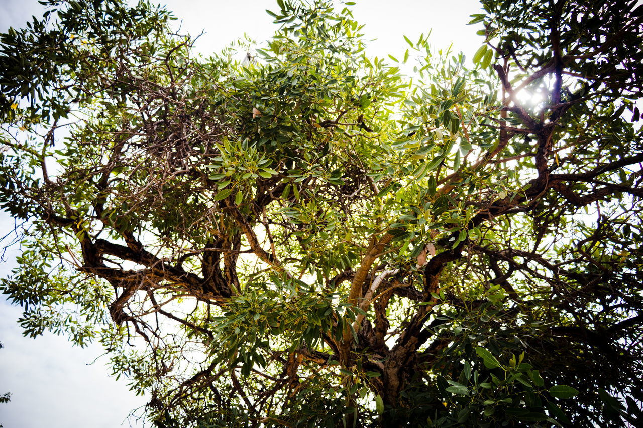 tree, plant, growth, low angle view, branch, beauty in nature, sky, day, no people, nature, tranquility, outdoors, green color, leaf, plant part, clear sky, sunlight, forest, freshness, backgrounds, tree canopy