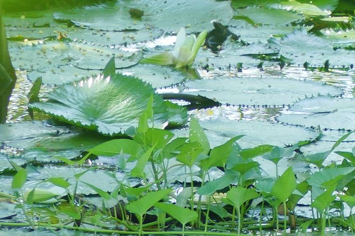 Thai Convolvulaceae in Lake Beauty In Nature Close-up Convolvulaceae Evening Floating On Water Flower Fragility Freshness Green Color Growth Lake Leaf Lily Pad Nature No People Outdoors Plant Water Water Lily ผักบุ้ง ผัดผักบุ้งไฟแดง พืช