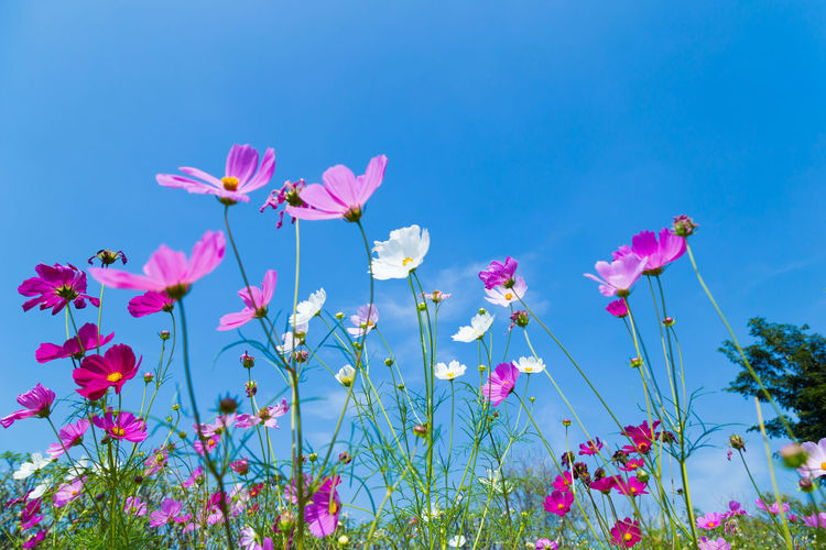 Colorful Cosmos and Blue Sky Beauty In Nature Blue Close-up Cosmos Flower Day Flower Flower Head Flowering Plant Fragility Freshness Growth Inflorescence Land Nature No People Outdoors Petal Pink Color Plant Sky Vulnerability