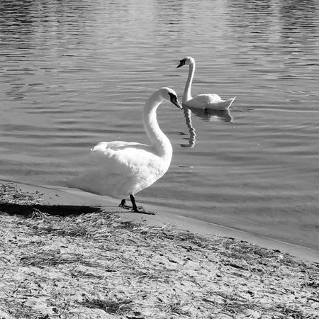 Monochrome Photography Animal Themes Bird Animals In The Wild Wildlife Water Nature Shore Beauty In Nature