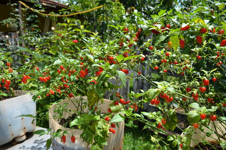 Burning Chili Pepper Fruits Lover Burn Chili  Chili Peppers Chili Plant Chilis Day Food Freshness Fruit Fruits Growth Nature No People Outdoors Plant Red