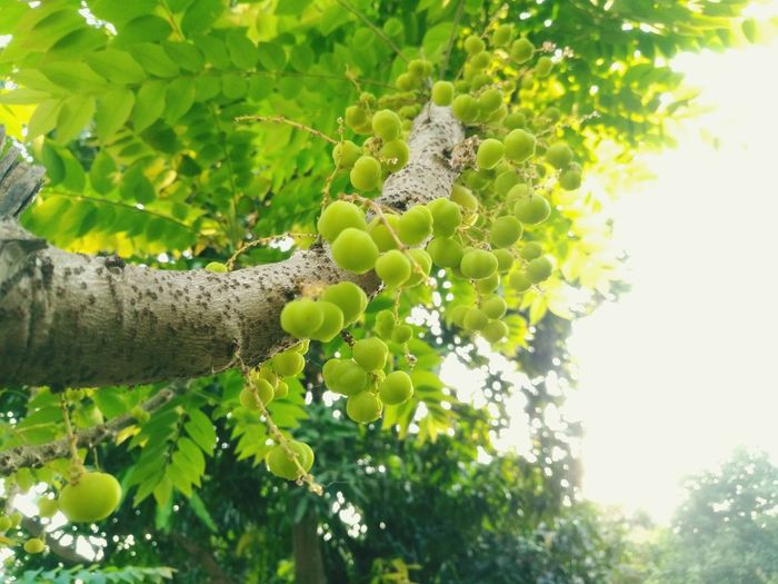 Tree Nature Green Color Growth Day Branch Tree Trunk Outdoors No People Low Angle View Animal Wildlife Beauty In Nature Plant Forest Leaf Fruit Close-up Animal Themes Sky Freshness Star Gooseberry Gooseberry Mayom Daylight