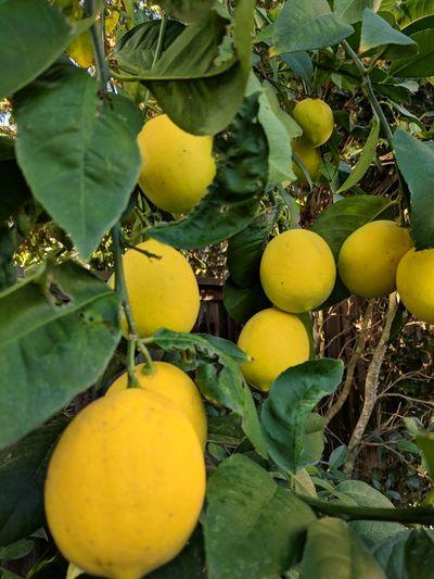 Citrus Fruit Lemon Tree Lemontree Limon