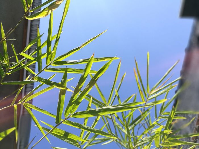 green leaf on blue sky background. Sky Blue Beauty In Nature Close-up Cereal Plant