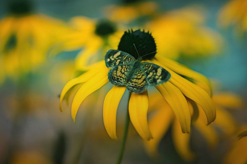 High Angle View Of Butterfly On Yellow Coneflower At Park