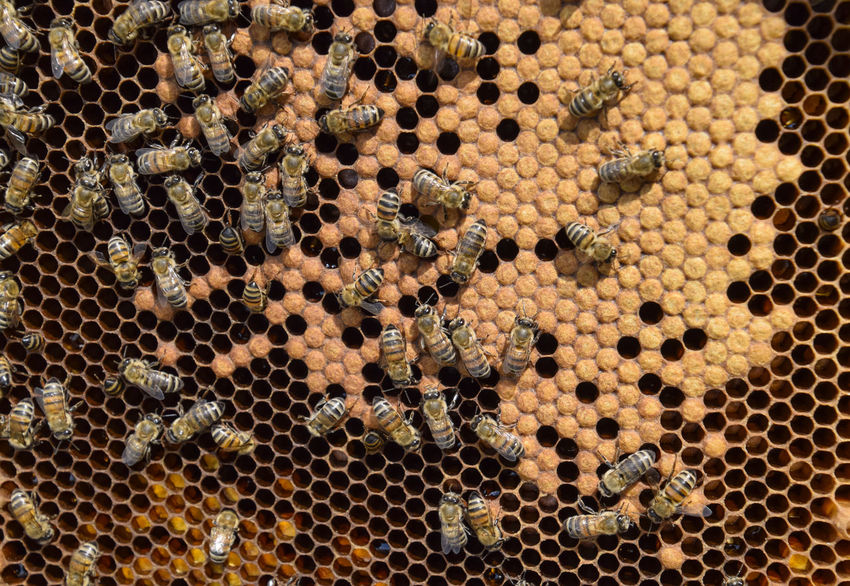 A dense cluster of swarms of bees in the nest. Working bees, drones and uterus in a swarm of bees. Honey bee. Accumulation of insects Animal Animal Themes Animal Wildlife Animals In The Wild Apiary APIculture Backgrounds Bee Beehive Beeswax Busy Cell Full Frame Honey Honey Bee Honeycomb Honeycomb Insect Large Group Of Animals No People Pattern Pollinator Propolis Swarm Wildlife