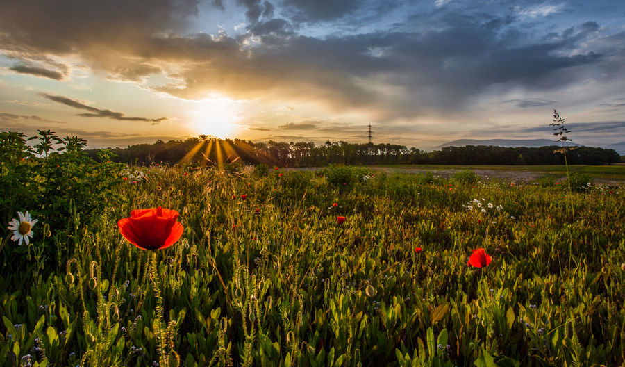 Flowering Plants Growing On Field Against Cloudy Sky During Sunrise
