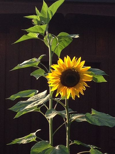 Autumn Big Contrast Close-up Garden Nature No People Outdoors Plant Sunflower Tree Colors Yellow