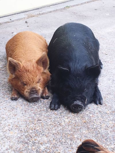 Pig life Kune Kune EyeEm Selects Mammal Animal Animal Themes Domestic Vertebrate Pets Group Of Animals Domestic Animals High Angle View Two Animals Day Black Color No People Pig Relaxation Canine Dog Land Livestock