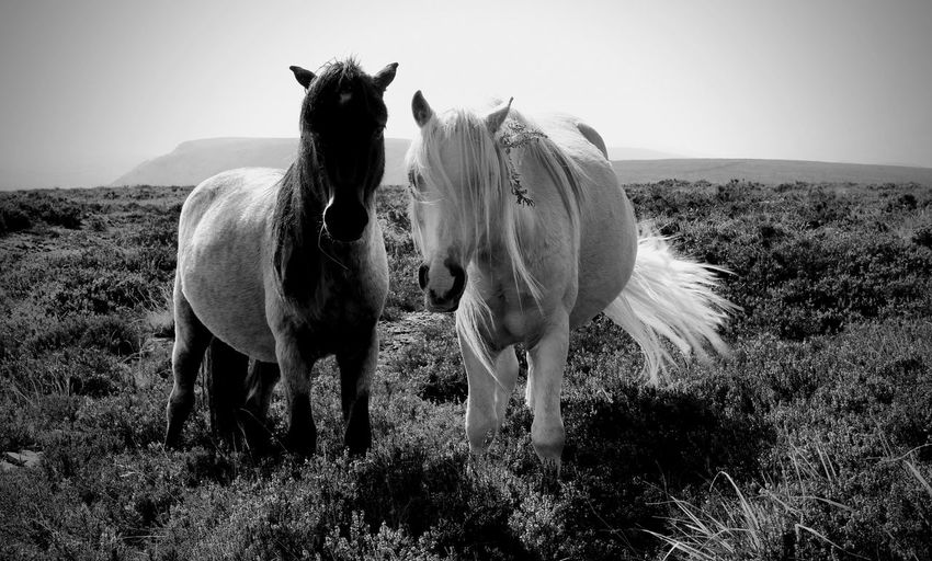 Wild ponies on offas dyke - english and welsh boarder national trail.