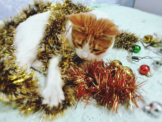 Pets Christmas Decoration Cats 🐱 MyLittleCat 💕 🐱 Christmas Time Lovely Gatto😸 IlMioMicio MonChatLePlusBeau!MonDoudou Gatitolindo