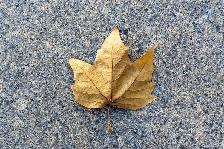Berlin, Germany, October 11, 2018: Close-Up of Maple Leaf on Ground Berlin Germany 🇩🇪 Deutschland Color Image Horizontal Outdoors No People Autumn Leaf Plant Part Change Dry Nature Leaf Vein Falling Yellow Maple Leaf High Angle View Natural Condition Concrete Single Object Close-up Fragility Natural Pattern Vulnerability  Stone Material