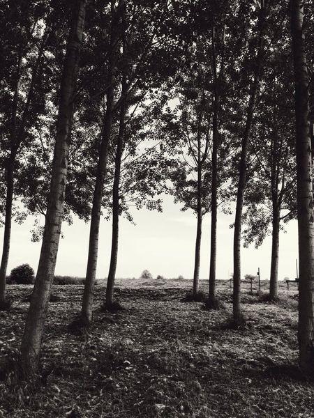 TreePorn Poplars Countryside Lonliness