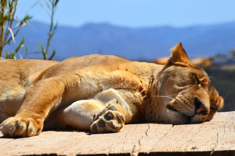 Lioness sleeping on pier against sky
