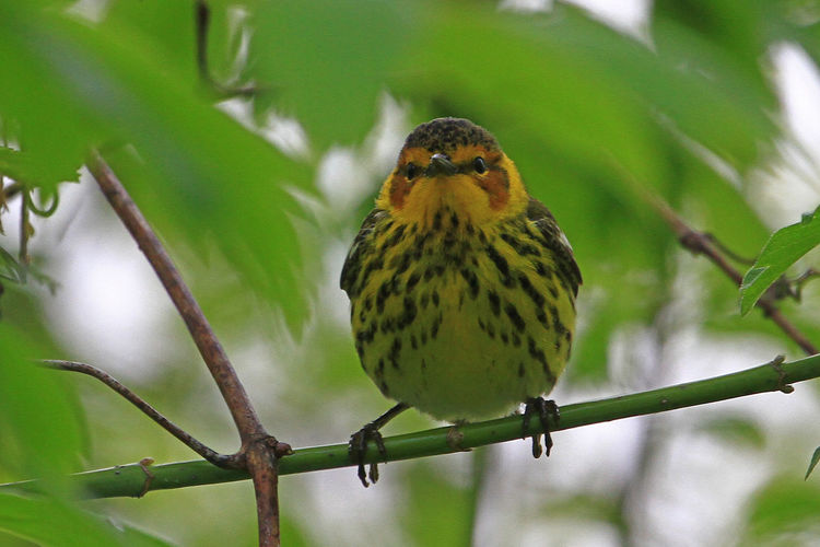 Cape May Warbler Cape May Warbler Animal Wildlife Bird Close-up Focus On Foreground Nature Outdoors Perching Songbird