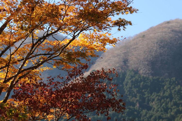 Japan Hakodate Sengokuhara Autumn Tree Beauty In Nature Scenics - Nature Autumn Collection Fall Leaf
