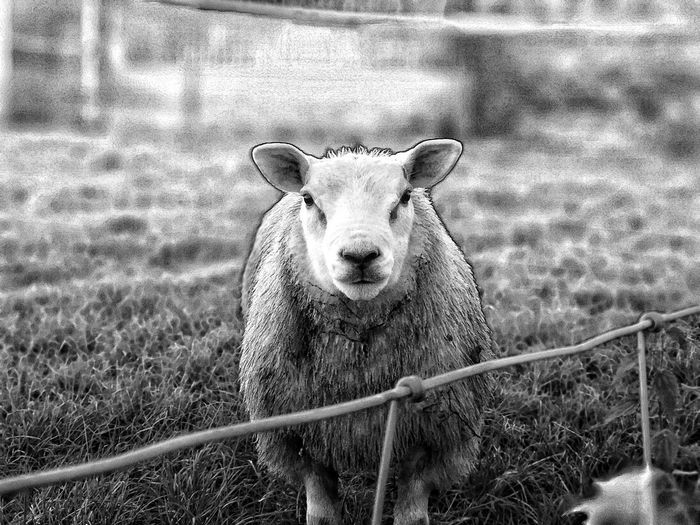 Single Sheep Sheep Black And White Detail Great Details Portrait Looking At Camera Field Sky Close-up Grass Livestock