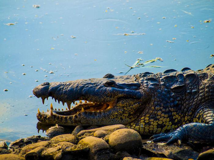 MÁS ENGAÑOSO QUE TODO, ES EL CORAZÓN, Y SIN REMEDIO; ¿QUIÉN LO COMPRENDERÁ? JEREMÍAS 17:9 Alligator Animal Themes Animal Wildlife Animals In The Wild Close-up Crocodile Day Nature No People One Animal Outdoors Reptile Water