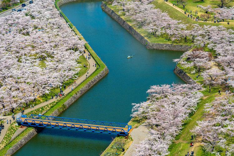 Goryokaku star fort park in springtime cherry blossom. sakura flowers in hakodate, hokkaido, japan