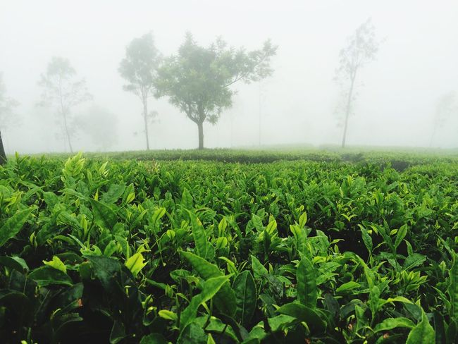 Morning Tea fresh as it gets... EyeEmNewHere EyeEm Diversity Close Up Dew Teaplants Agriculture Growth Field Farm Nature Rural Scene Tree Green Color Landscape Fog Crop  Tranquility Beauty In Nature No People Day Scenics Tranquil Scene Outdoors Tea Crop Sky Long Goodbye