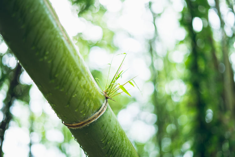 bamboo Plant Green Color Growth Focus On Foreground Close-up Nature Beauty In Nature Day No People Tree Plant Part Tranquility Leaf Outdoors Invertebrate Low Angle View Insect Animals In The Wild Animal Wildlife Selective Focus Bamboo - Plant Spiky