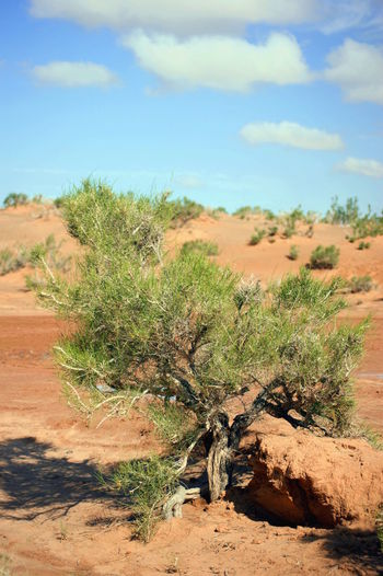 Gobi Desert Mongolia Saxaul Trees Arid Climate Cloud - Sky Desert Environment Growth Land Landscape Nature No People Non-urban Scene Outdoors Plant Scenics - Nature Sky Tranquil Scene Tree Говь- Монгол улс