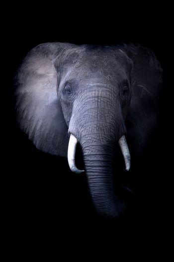 Éléphant Uganda