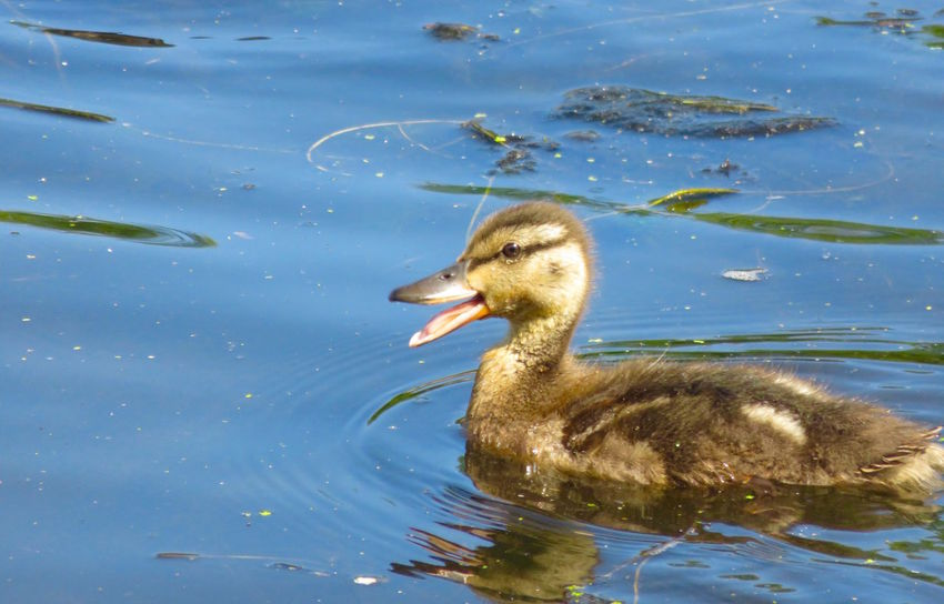 Duckling Quacking During a Morning Swim Animal Animal Themes Beauty In Nature Close-up Cute Baby Day Duckling EyeEm Animal Lover EyeEm Nature Lover Lake Mallard Nature No People Outdoors Pond Quack Quacking Rippled Swimming Tranquility Water Water Bird Water Fowl Wildlife Youth