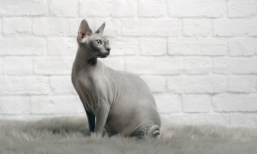 Sphynx cat sit on a fur blanket and look sideways. Copy Space Horizontal Architecture Brick Brick Wall Canadian Sphynx Cat Courious Domestic Domestic Animals Fur Blanket Looking Looking Sideways Mammal No People One Animal Pentax Pets Purebred Cat Sitting Animal Sphynx Sphynx Cat Vertebrate Wall Wall - Building Feature
