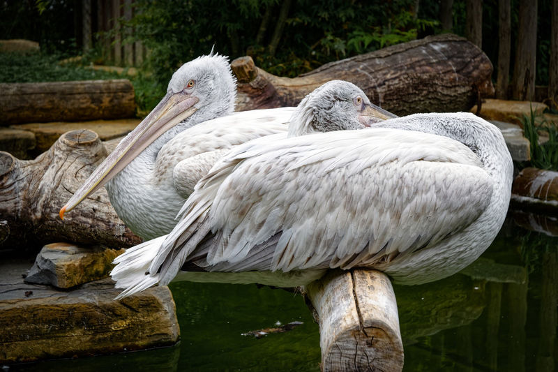 Close-up of pelican on wooden post
